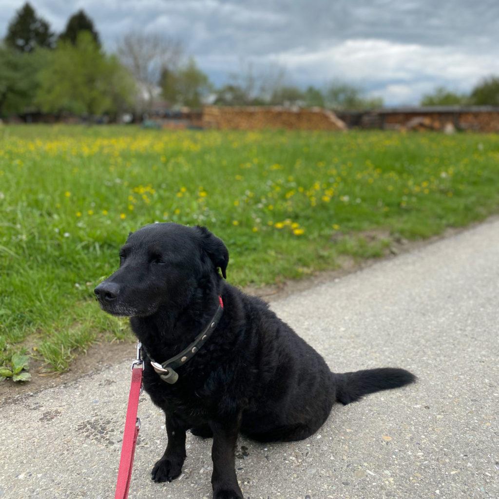 Charlie-schwarzer-Labrador-Dackel-Mischung